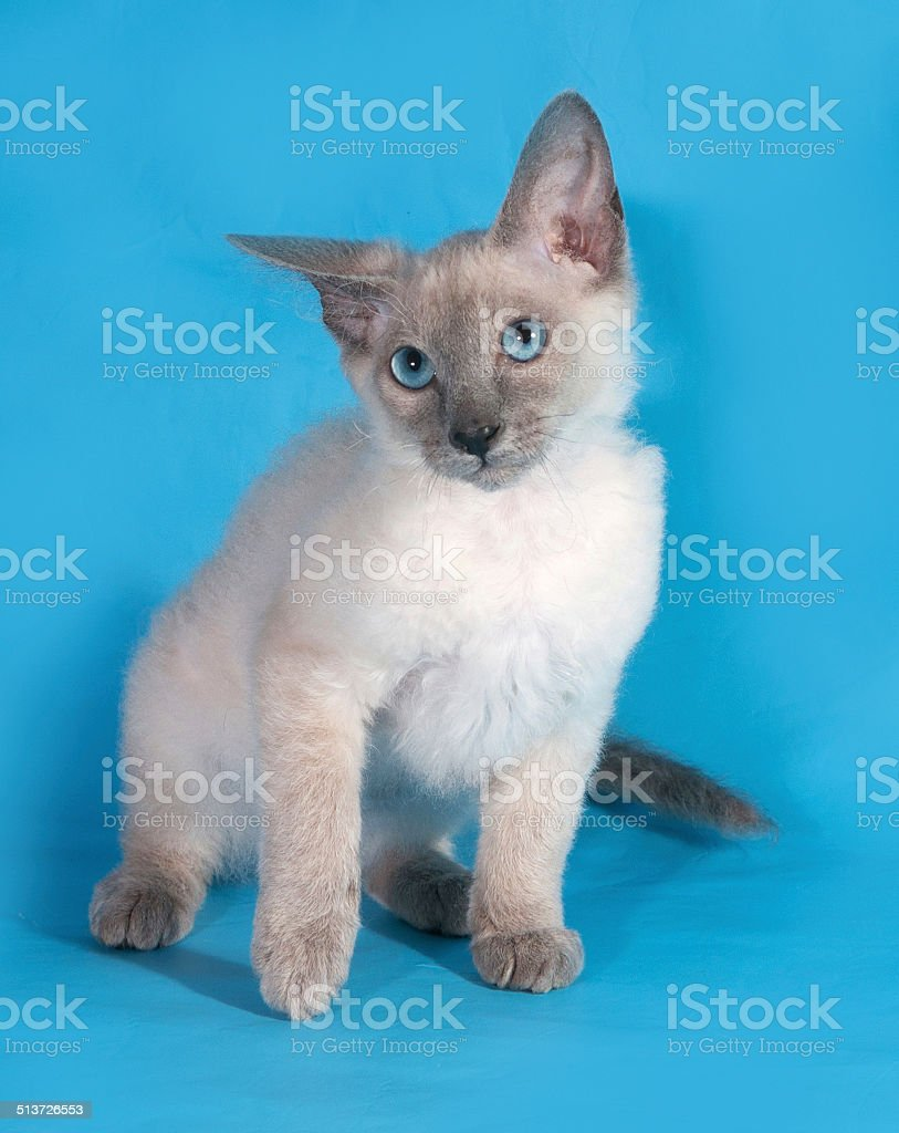 Curly Kitten Cornish Rex Is Sitting On Blue Stock Photo More