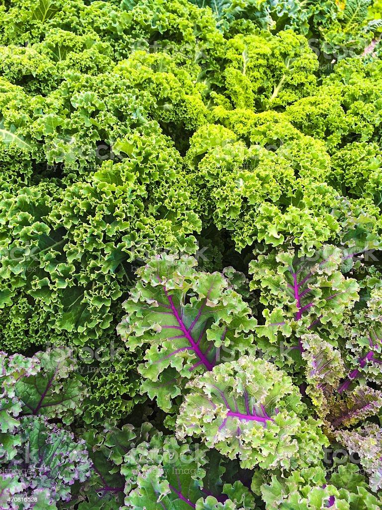 Curly lettuce in summer vegetable garden stock photo