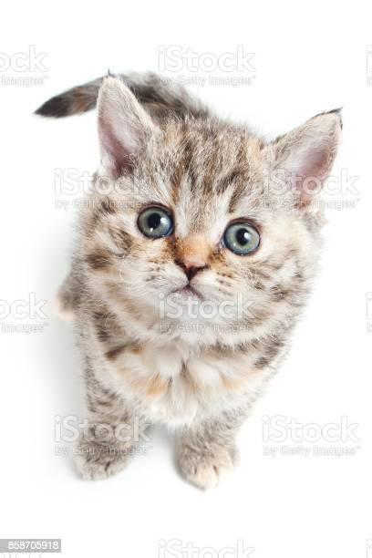 Curly striped kitten selkirk rex cat picture id858705918?b=1&k=6&m=858705918&s=612x612&h= oah tyvdq 39o7akc91onnhfszzfvnjkiv2xtejtpg=