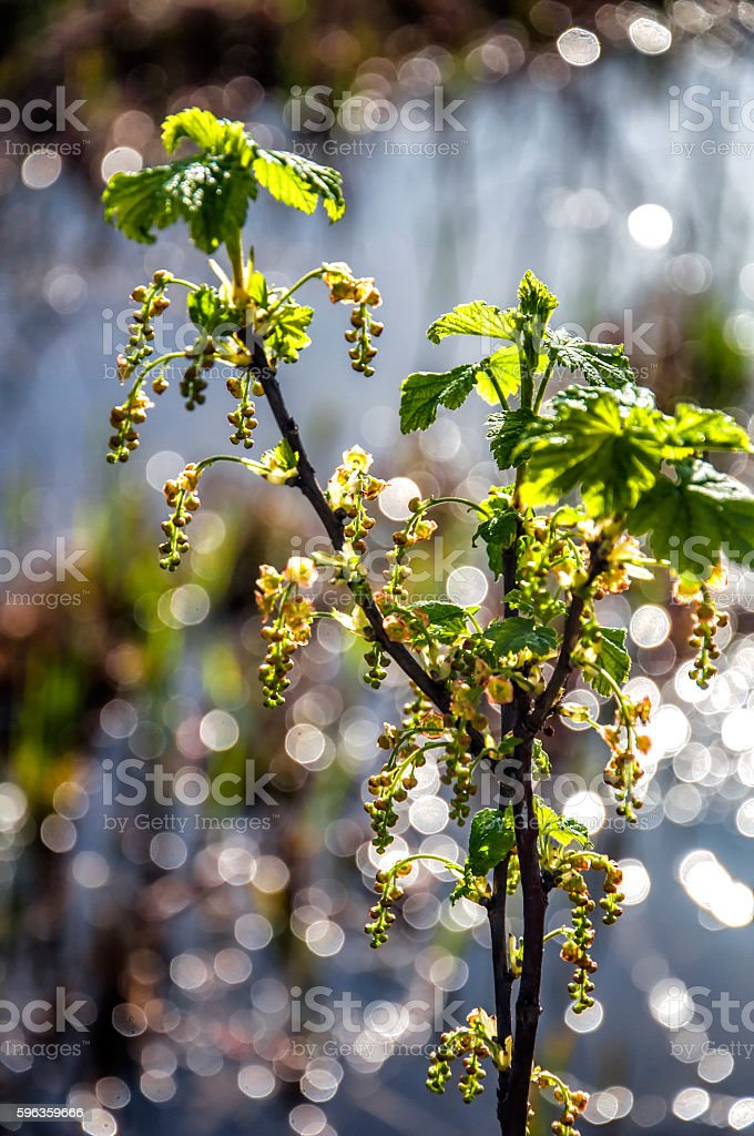 Currant blooming royalty-free stock photo