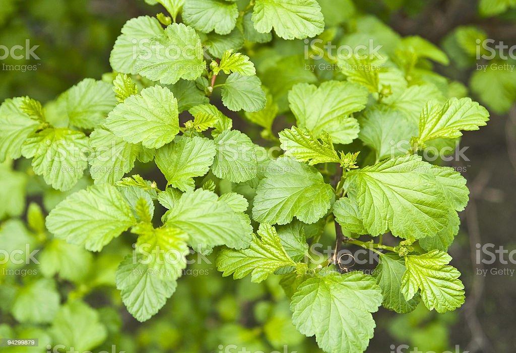 Currant bush royalty-free stock photo