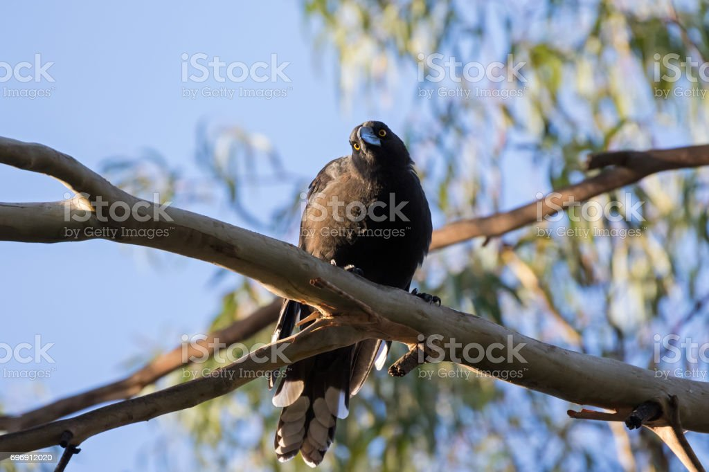 Currawong black passerine bird with yellow eyes perching on Eucalyptus branch in Tasmania, Australia stock photo