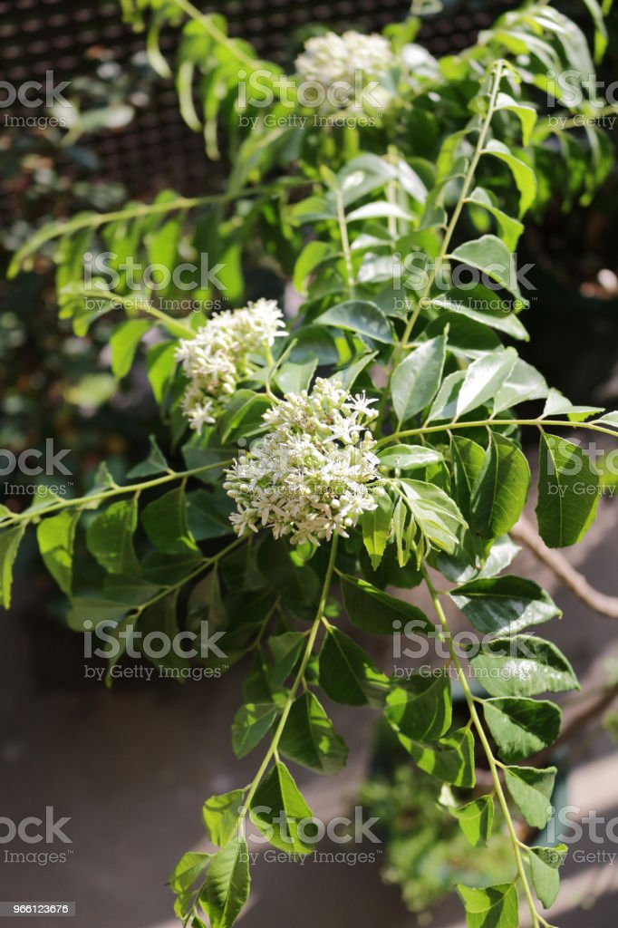 curry leaf flower - Royalty-free Aiurveda Foto de stock