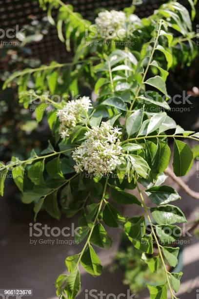 Curry Leaf Blomma-foton och fler bilder på Ayurveda