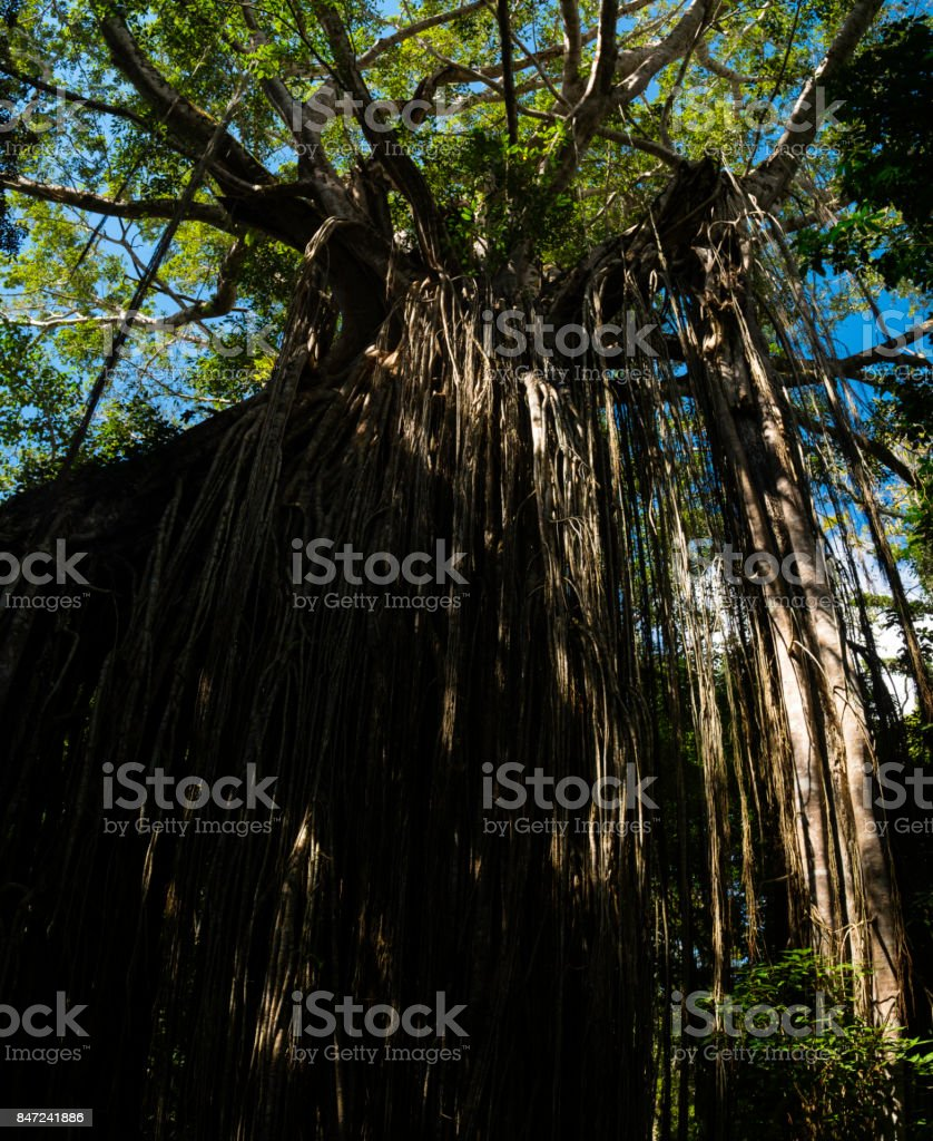 Curtain Fig Tree, Atherton Tablelands, Queensland, Australia stock photo