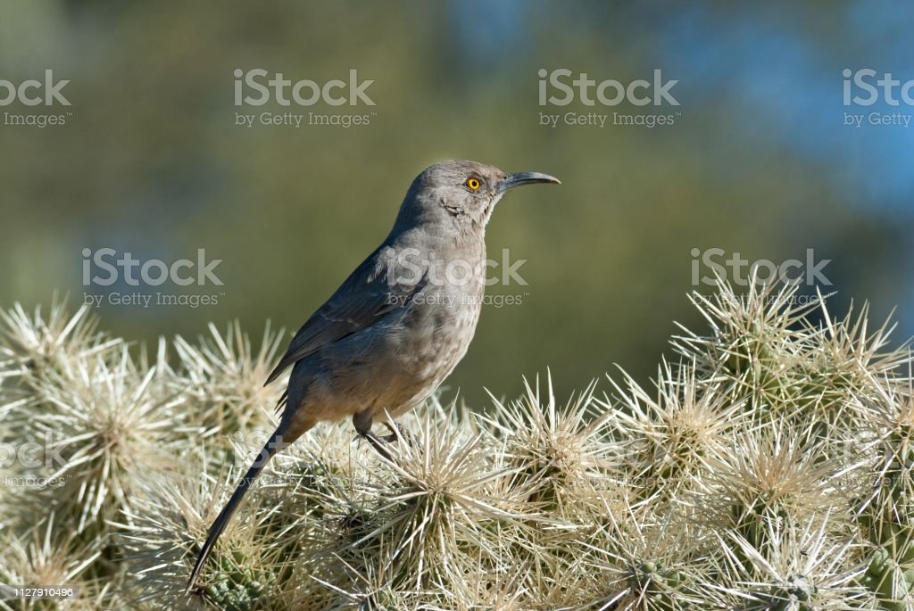 Curve-Billed Thrasher on a Cholla Cactus stock photo