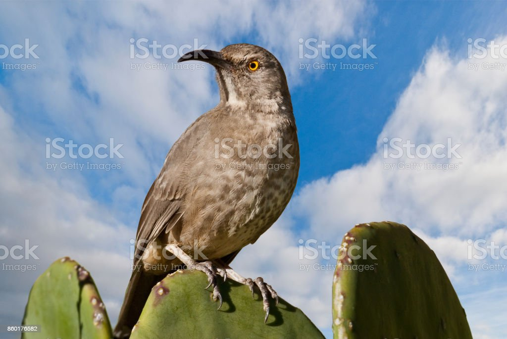 Curve-Billed Thrasher on a Prickly Pear Cactus stock photo
