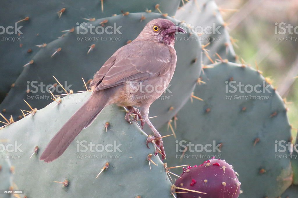 Curve-billed Thrasher stock photo