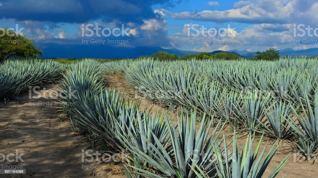 Curved agave lines. stock photo