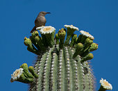 Apache Junction May, 2019  Bird perched on top of a cactus looking down, blue sky background.