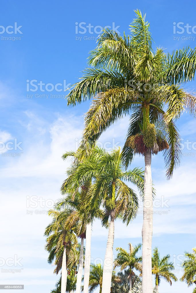 Curved row of palm trees against blue sky.