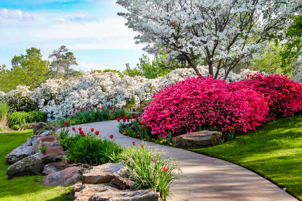 curved path through banks of azeleas and under dogwood trees with tulips under a blue sky - beauty in nature - клумба стоковые фото и изображения