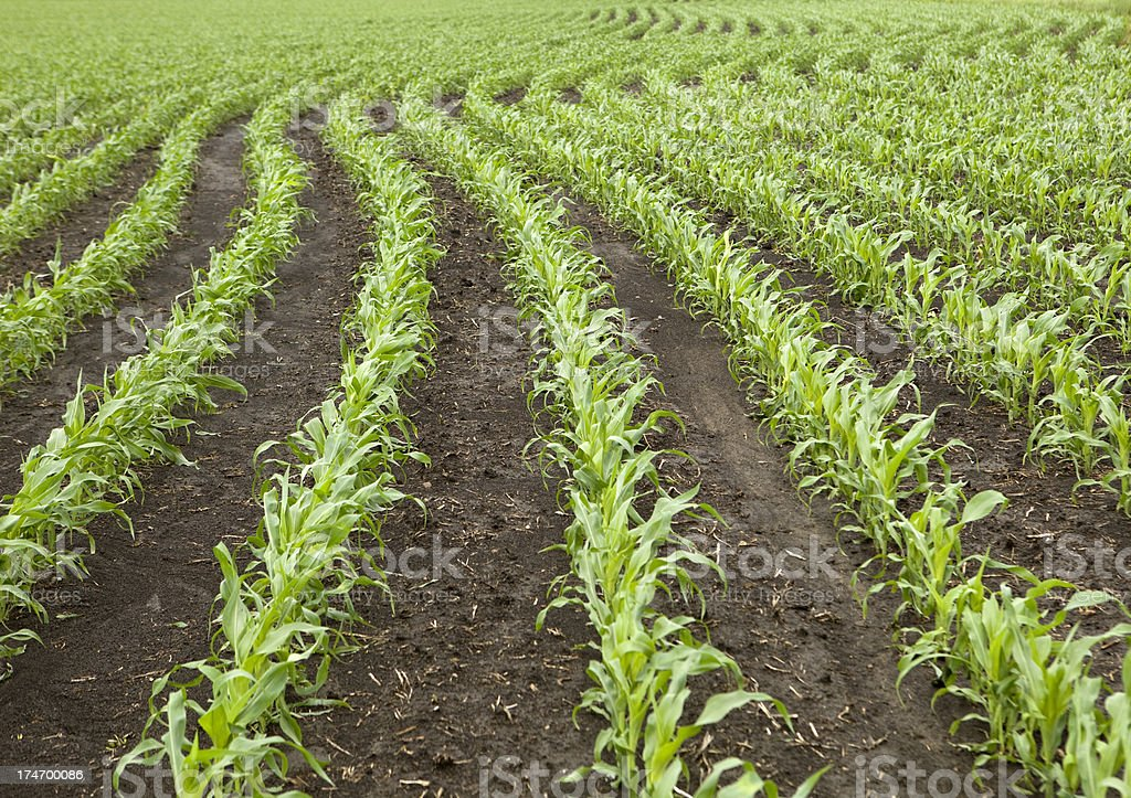 Curved Rows of Spring Corn royalty-free stock photo