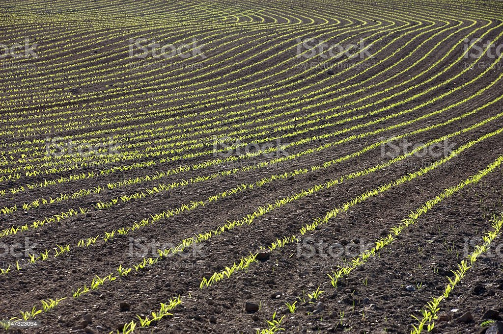 Curved Rows of Young Corn stock photo