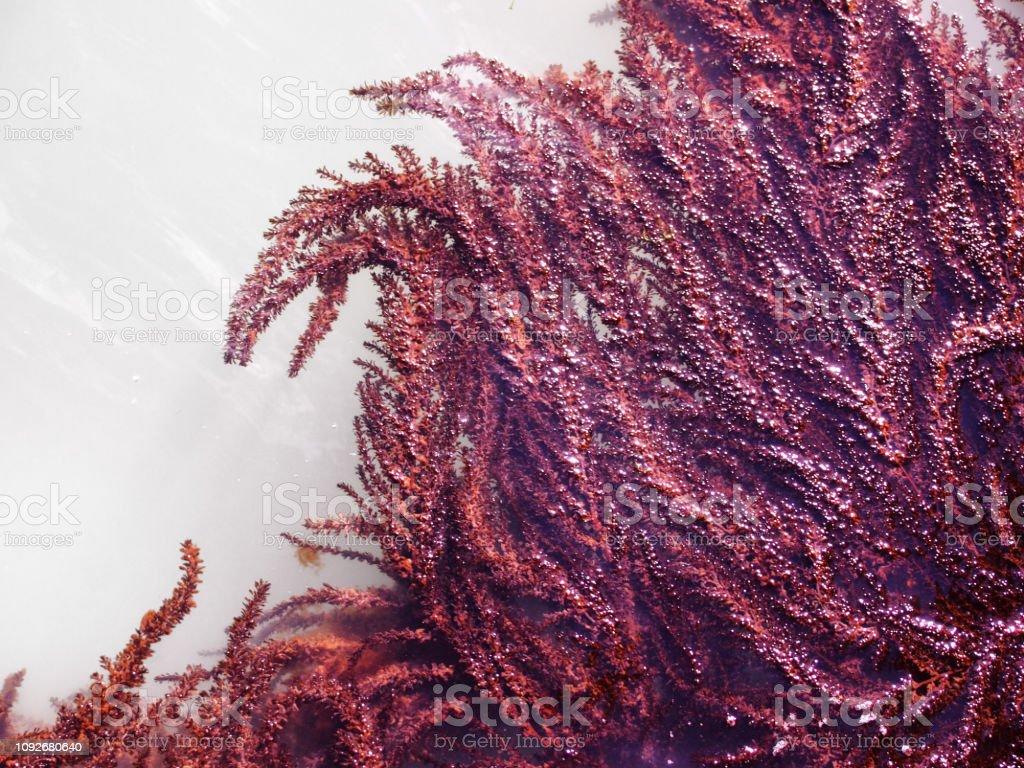 curvando hojas de alga marina roja brillante sobre la superficie del agua iluminada por el sol brillante - foto de stock