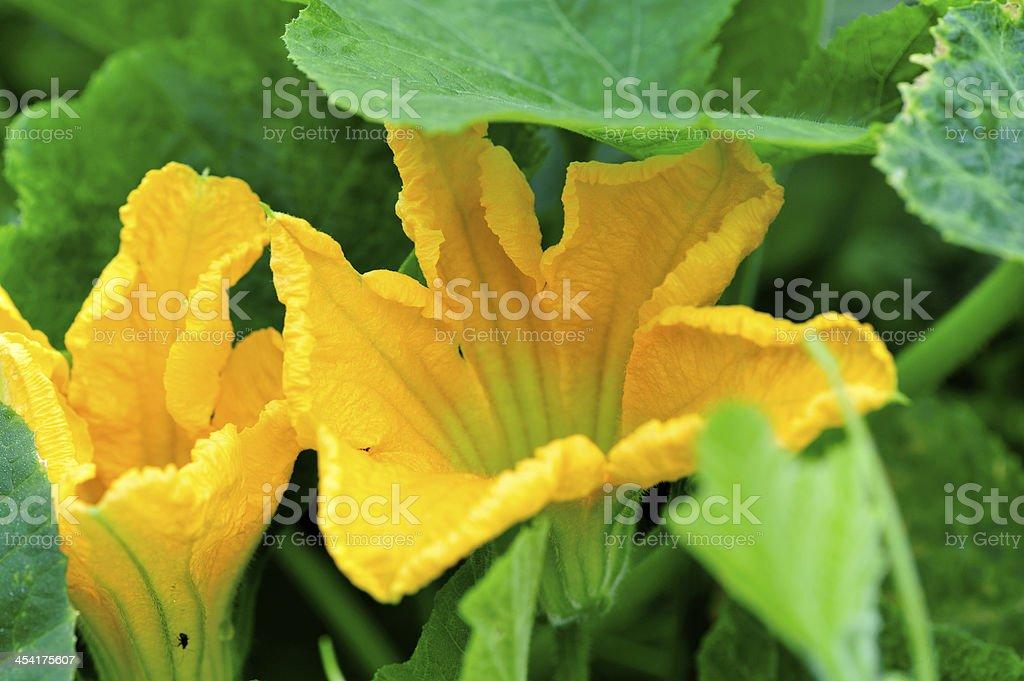 cushaw fruit flower royalty-free stock photo