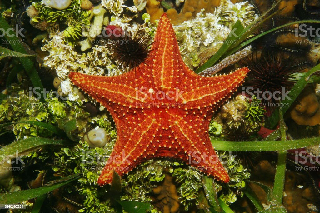 Cushion sea star underwater viewed from above stock photo