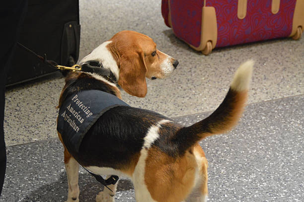 Customs Sniffer Dog stock photo