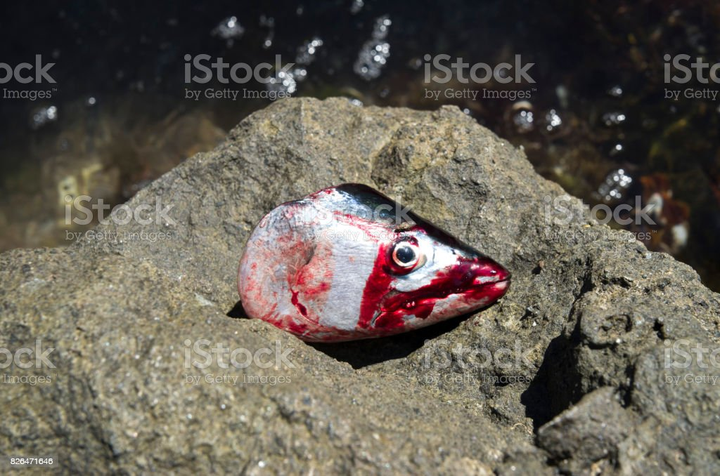 Cut bloody head of  belted bonito closeup on stone stock photo