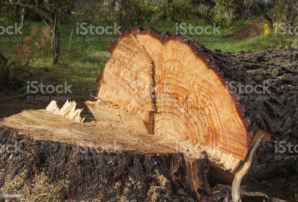 Cut Down Tree stock photo