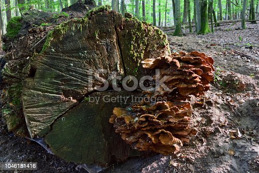 on an old oak trunk cut with a chainsaw grows a bunch of red fungus