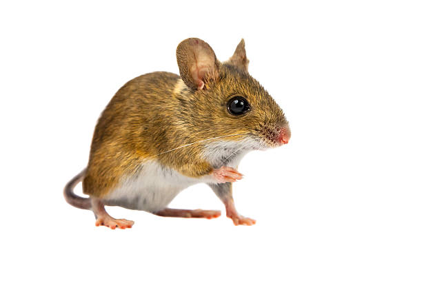 Cut out Field Mouse Wood mouse (Apodemus sylvaticus) with cute brown eyes looking in the camera on white background rodent stock pictures, royalty-free photos & images