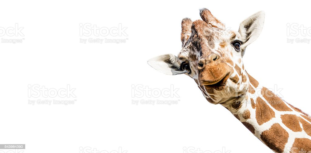 Cut out Giraffe on white background stock photo