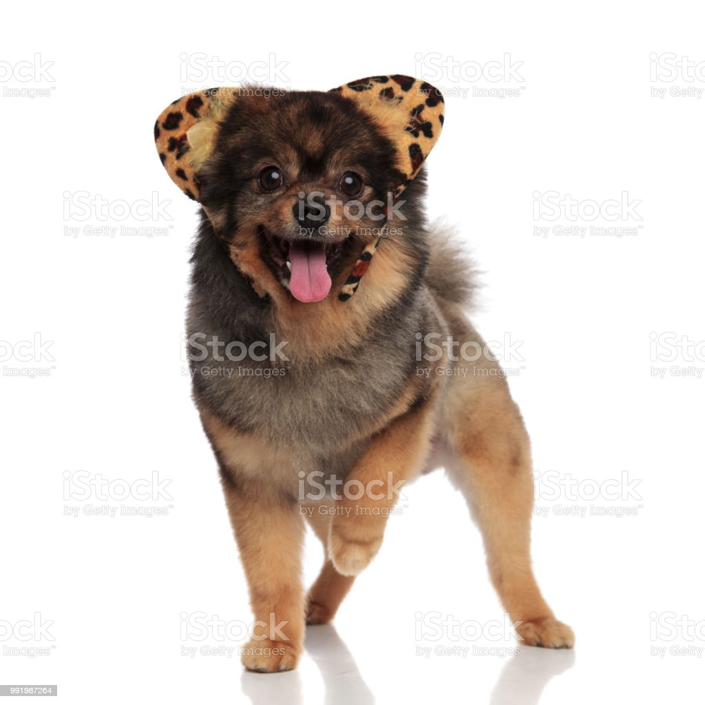 cut pomeranian dressed as leopard for halloween walking and panting