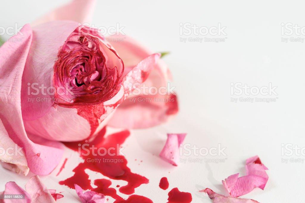 cut rose blossom stock photo
