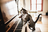 domestic cat, piano, pets, animal,