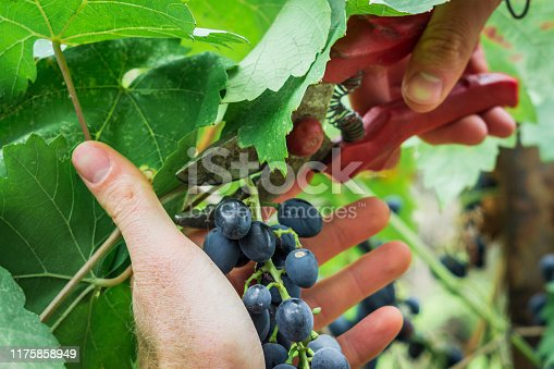 cut the grape-picking harvest of black grapes closeup