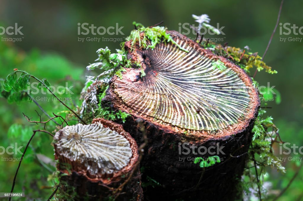 A Cut Tree Branch shows Vein Patterns in New Zealand stock photo