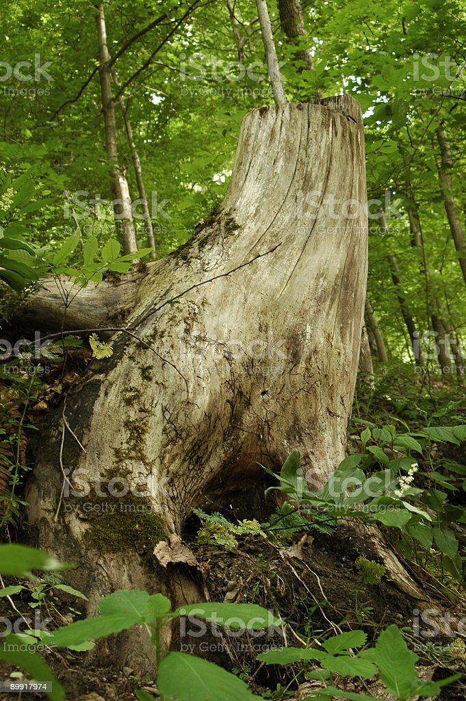 Cut tree stump royalty-free stock photo