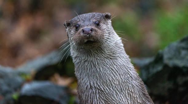 aufschnitt, schräg stehender otter, neugierig nach vorne - frettchen haltung stock-fotos und bilder