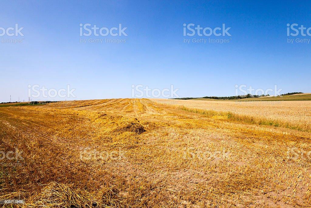 Cut wheat  Blue sky. stock photo