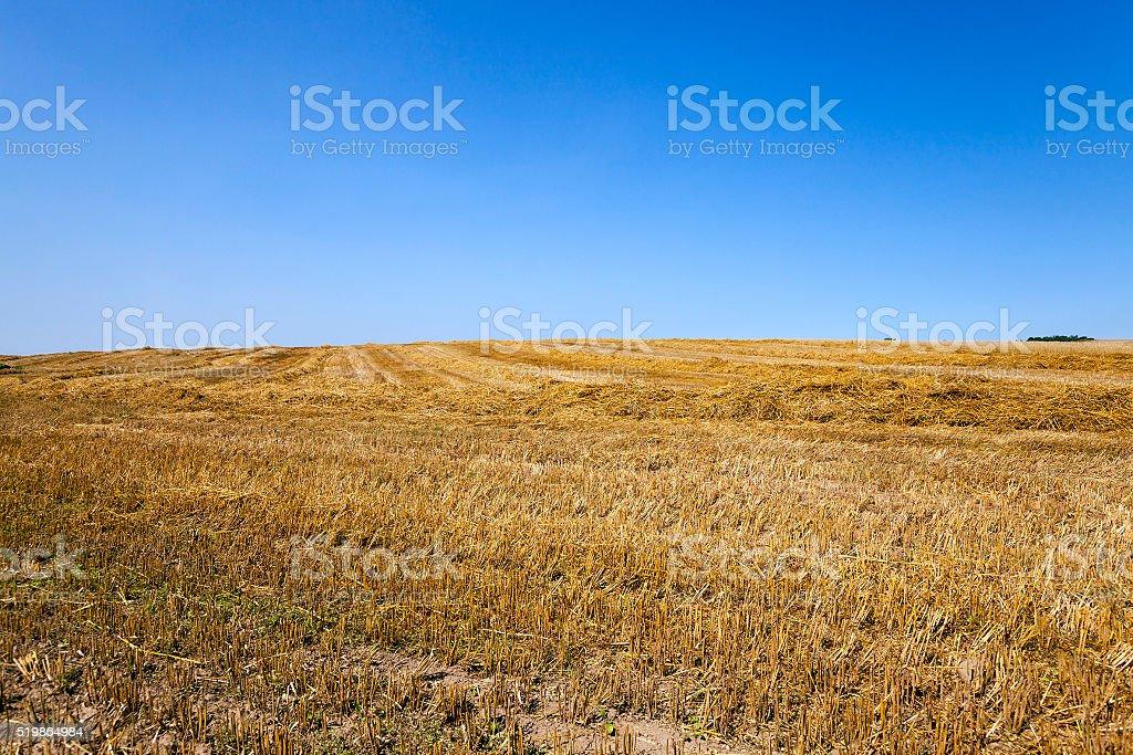 Cut wheat, Blue sky. stock photo