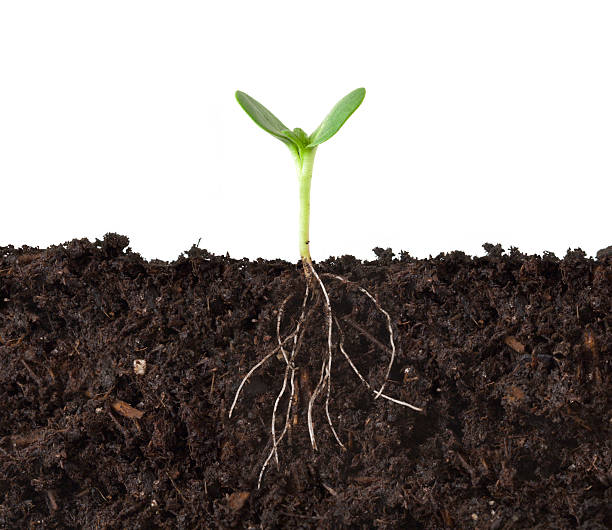 Cutaway of Plant and Roots in Dirt  root stock pictures, royalty-free photos & images