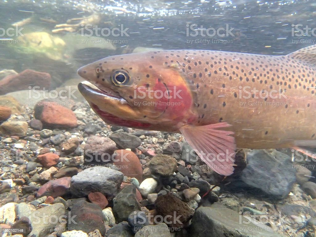 Cut-Bow Trout stock photo