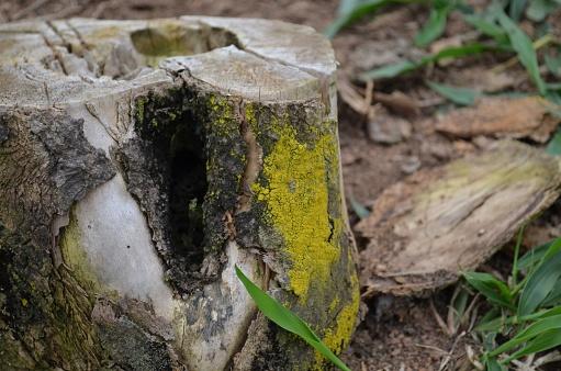 Cut-down Brazilian tree trunk