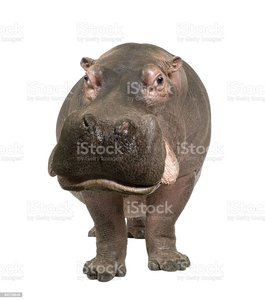 A cute 30-year-old hippopotamus stock photo