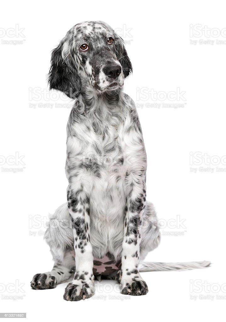 Cute 4 months old blue belton english setter stock photo