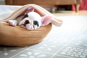 Cute Pied French Bulldog puppy lying in bed covered with soft blanket