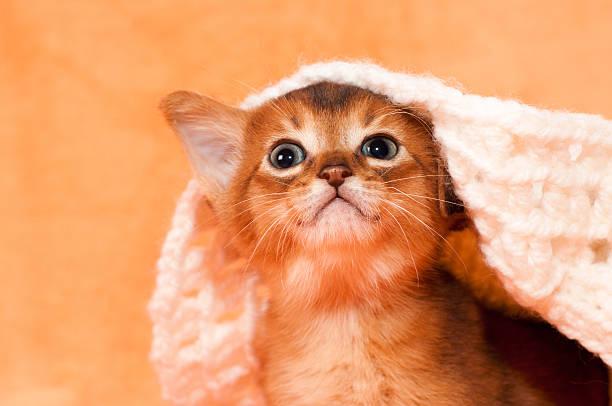 niedlichen rosetten katzenjunges porträt - katzenhüte häkeln stock-fotos und bilder