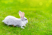 Cute adorable grey fluffy rabbit sitting on green grass lawn at backyard. Small sweet white bunny walking by meadow in green garden on bright sunny day. Easter nature and animal bokeh background.