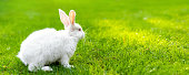 Cute adorable white fluffy rabbit sitting on green grass lawn at backyard. Small sweet bunny walking by meadow in green garden on bright sunny day. Easter nature animal bokeh background. Wide banner.