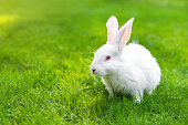 Cute adorable white fluffy rabbit sitting on green grass lawn at backyard. Small sweet bunny walking by meadow in green garden on bright sunny day. Easter nature and animal bokeh background.