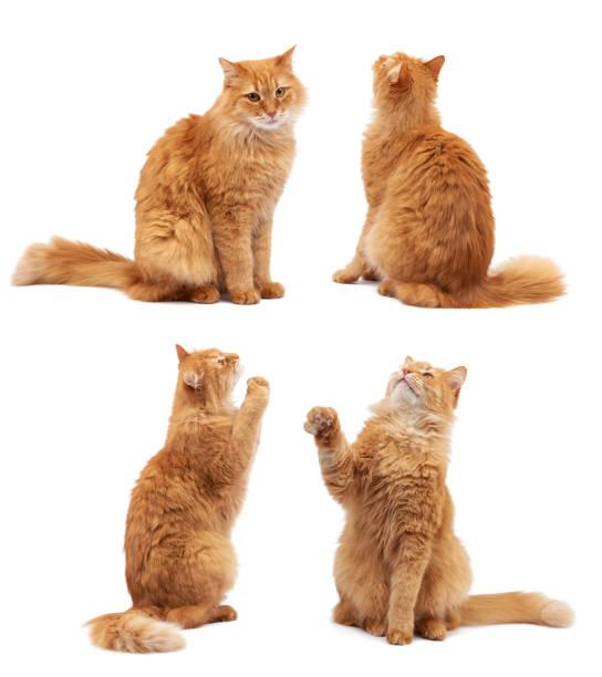 Cute adult fluffy red cat sitting and raised its front paws up of picture id1253131327?b=1&k=6&m=1253131327&s=612x612&w=0&h=ejwju4lwbovjg9mdottixgguqzerize4q6wrqzytgna=