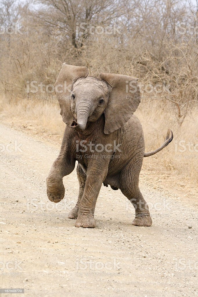 Cute African elephant calf playing and trying to threaten dominance stock photo
