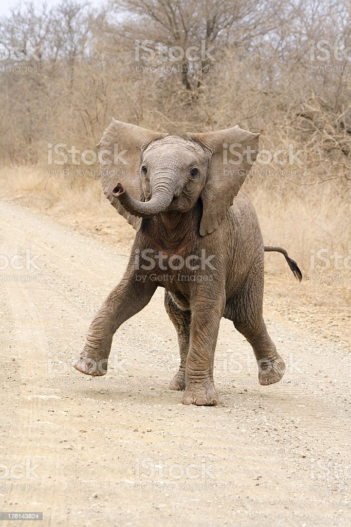 Cute African elephant calf playing and trying to threaten dominance royalty-free stock photo