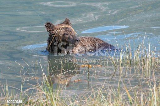 Cute Brown bear close up swimming along coast of glacial river.